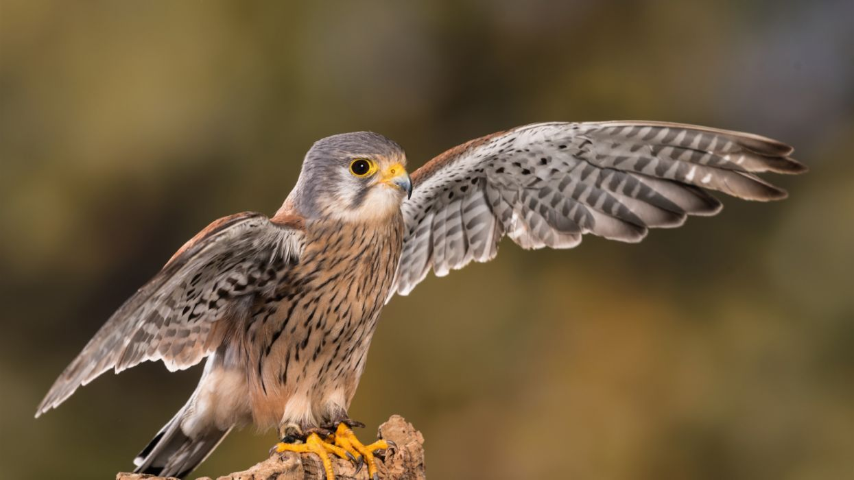 Cute falcon open wings birds animals wallpaper
