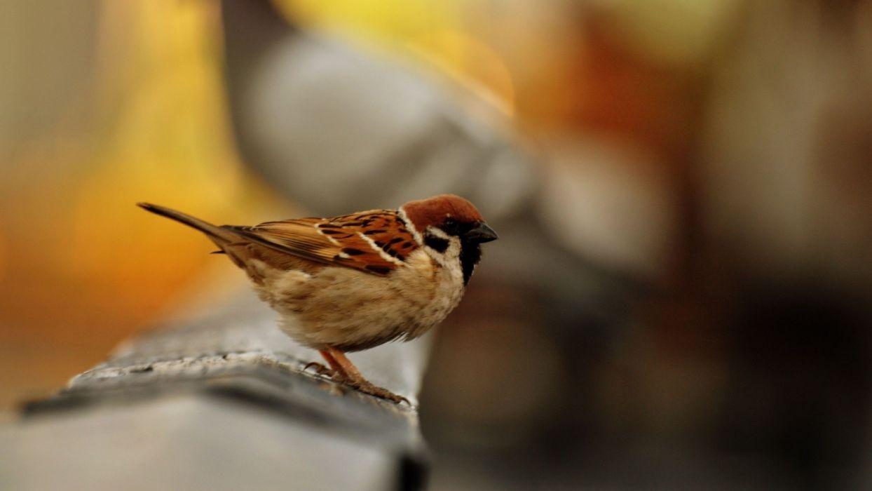 sparrow bird blur color animals wallpaper