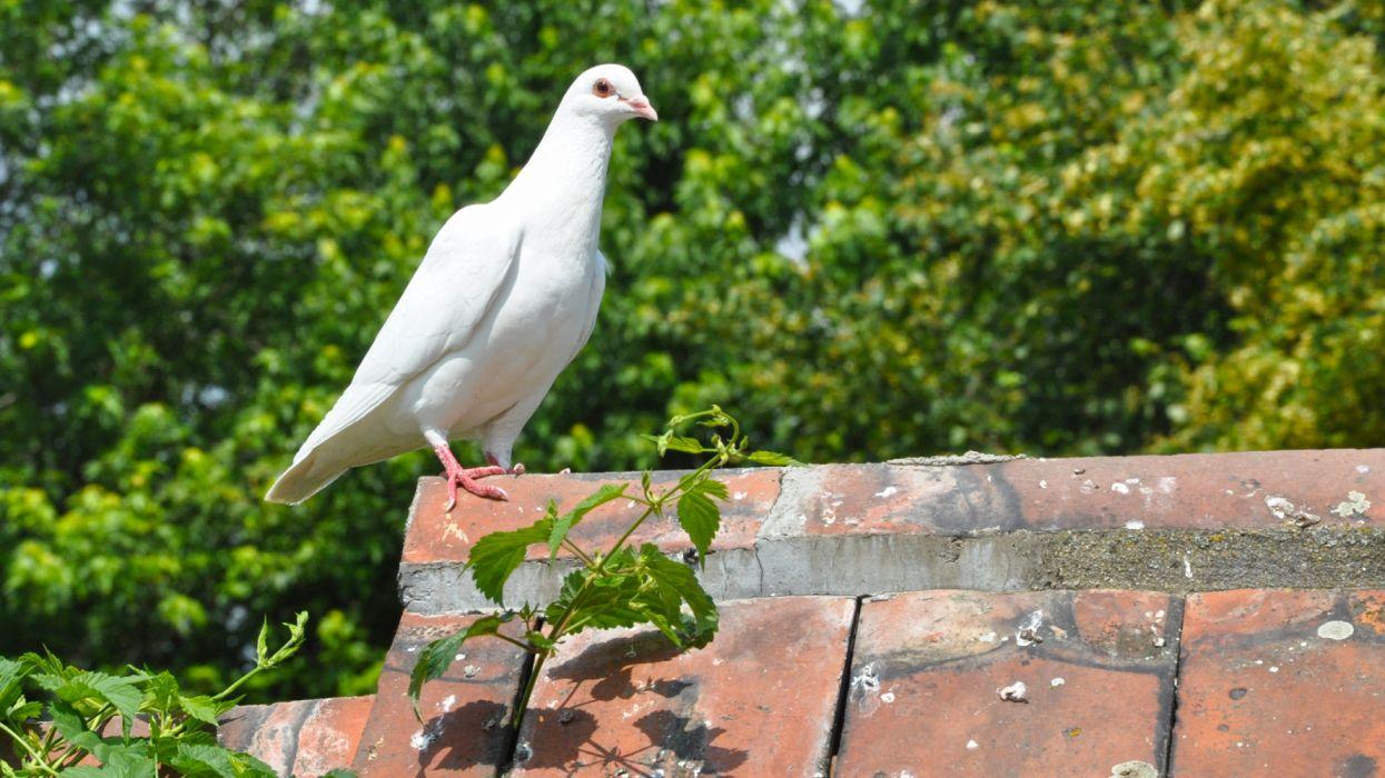 ave animales paloma blanca tejado wallpaper