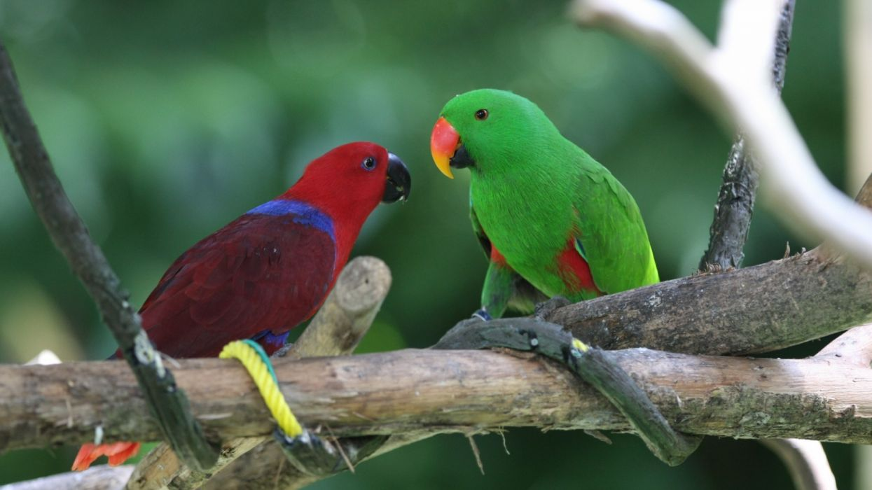 Two parrots red and green birds animals wallpaper
