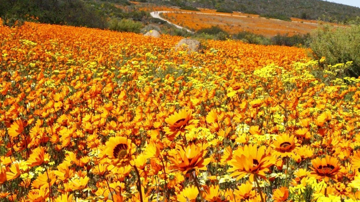 flores silvestres amarillas naturaleza wallpaper