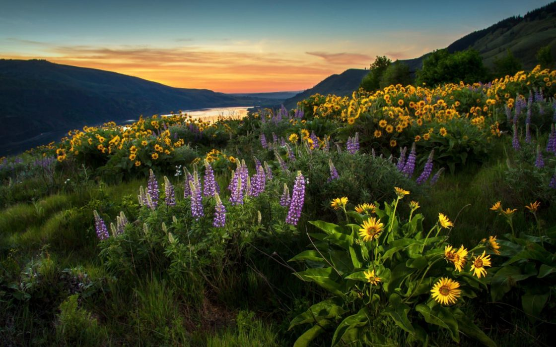 landscape nature lupines sunflowers flowers wallpaper
