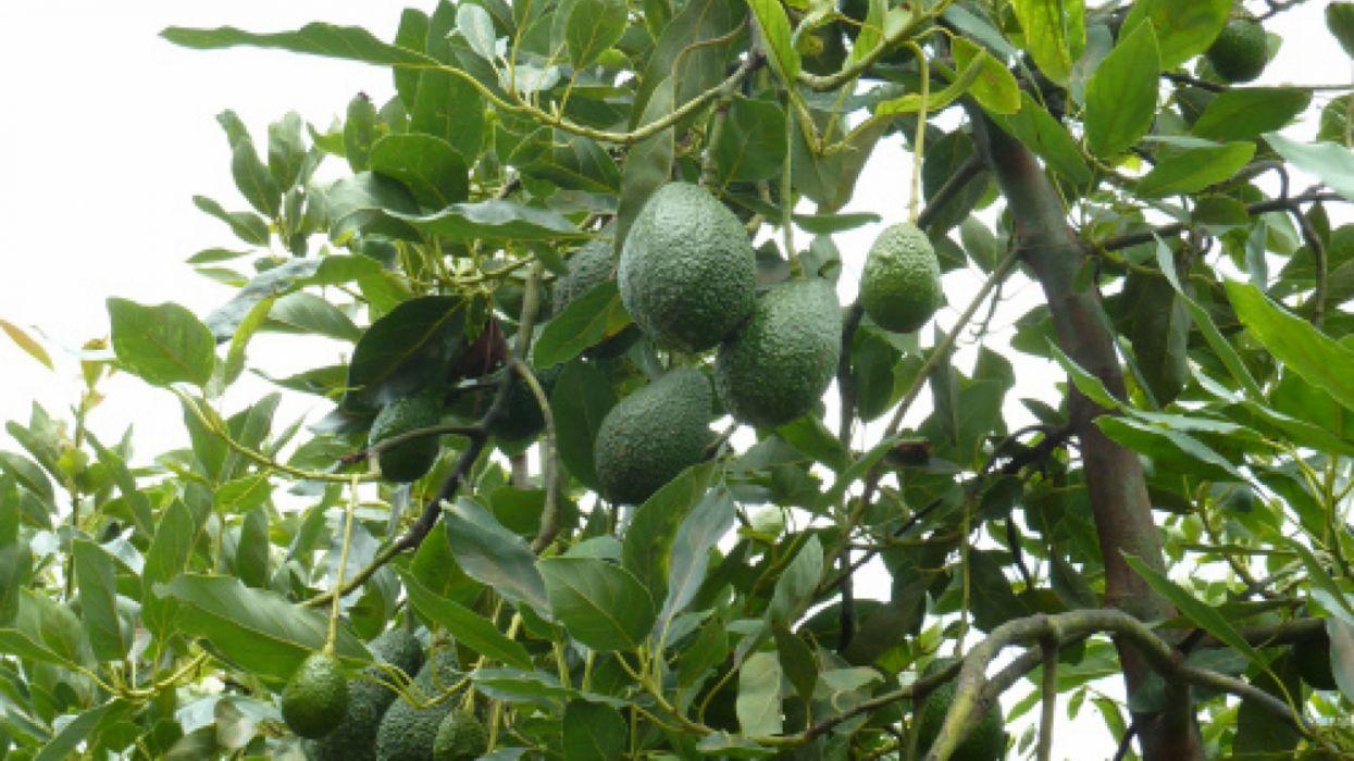 huerto aguacates arbol frutas wallpaper