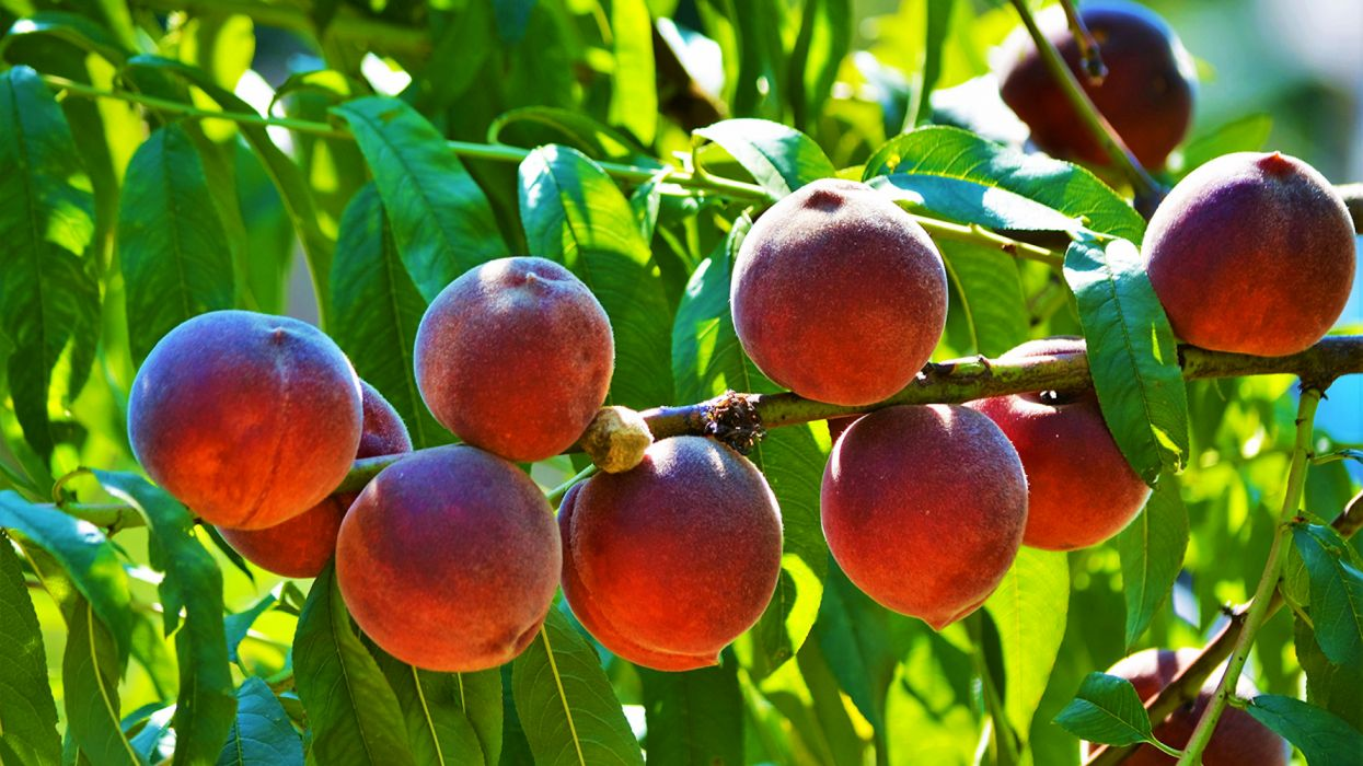 Fruit Peaches Branches tree nature wallpaper