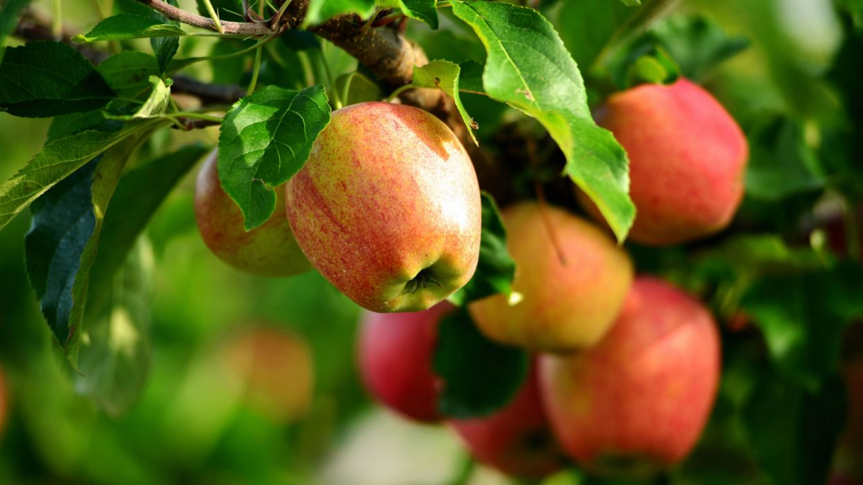 Fresh apples tree twigs leaves wallpaper