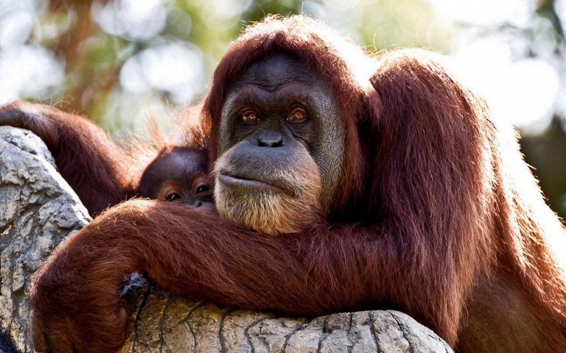 animales orangutan simio baby wallpaper